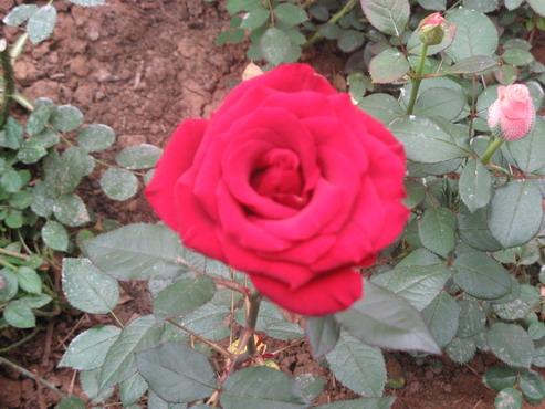 玫瑰花  玫瑰原产我国,栽培