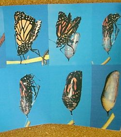 培养幼儿对小动物喜爱之情,了解蝴蝶的生长过程,进一步感知