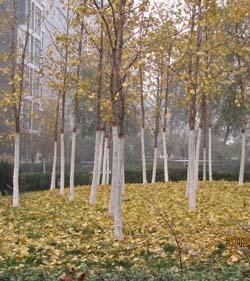 11月9日,银杏树叶变黄了. 11月22日,银杏树叶开始随风飘落.-最